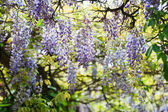 Chinese wisteria — Stock Photo
