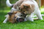 Elo mothter and her puppy fighting together playfully — Stock Photo
