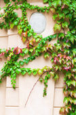 Old wall entwined from vine tendrils — Stock Photo