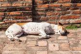 Sleeping stray dog at a temple ruin in Ayutthaya, Thailand — Stock Photo