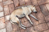 Sleeping stray dog at a Buddhist temple in Ayutthaya, Thailand — Stock Photo