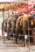 Elephants for tourist amusement in Ayutthaya, Thailand — Stock Photo