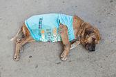 Poor street dog lying on the asphalt — Stock Photo