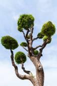Tree trimmed like a Bonsai — Stock Photo