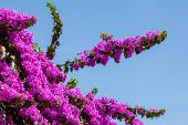 Pink Bougainvillea — Stock Photo