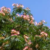 Persian Silk Tree — Stock Photo
