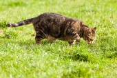 Cat searching for mice on the meadow — Stock Photo