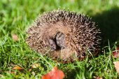 Cute hedgehog on an autumnal lawn — Stock Photo