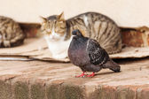 Dove sitting in front of sleeping stray cats — Stock Photo