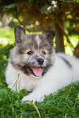 Cute Elo puppy lying on the lawn — Stock Photo
