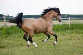 Running Welsh Cobb pony on a paddock — Stock Photo