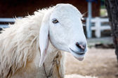 Smiling sheep on the ground — ストック写真