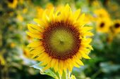 Yellow sunflower stands alone with a blurry background on the fe — Stockfoto