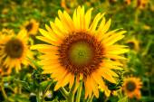 Yellow sunflower on feild in evening time — Stockfoto