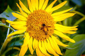 Close up bee inset on sunflower — Stock Photo