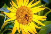 Zblízka včela vsazené na slunečnice — Stock fotografie