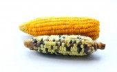 Two race of corn on isolate — Foto Stock