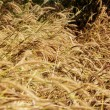 Dry grass in autumn season — Stock Photo #61615303