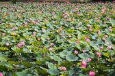 Loto rosa en el estanque — Foto de Stock