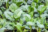 Chinese kale vegetable in garden — Stock Photo