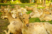 Asian brow-antlered deers — Stok fotoğraf