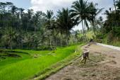 Farmer in Bali, Indonesia — Stock Photo