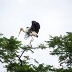 Painted stork landing on tree — Stock Photo #63676759