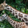 Giraffes in the zoo — Stock Photo #63676789
