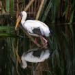 Yellow billed stork — Stock Photo #63677013