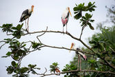 Painted storks perched on tree — Fotografia Stock