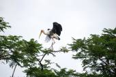 Painted stork landing on tree — Stock Photo