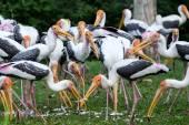Painted storks feeding — Stock Photo