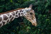 Giraffe in the zoo — Stock Photo