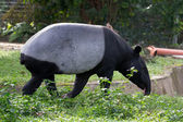 Southeast Asian Tapir — Stock Photo
