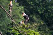 Painted storks resting on tree — Stock Photo