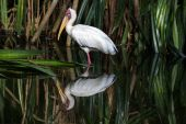 Yellow billed stork — Stock Photo