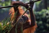 The Bornean orangutan — Stock Photo