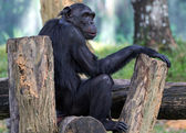 Chimpanzee sitting on the wooden flooring — Stock Photo