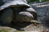 Big turtle closeup — Stock Photo