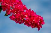 Red bougainvillea flowers — Stock Photo