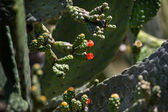 Cactus Opuntia close up — Stock Photo