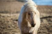 Icelandic pony — Stock Photo