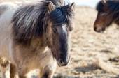 Icelandic ponies — Stock Photo