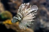 Lion fish (Pterois volitans) — Stock Photo
