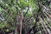 Branch of a banyan tree — Stock Photo