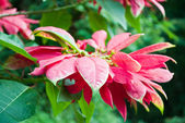 Beautiful poinsettia in forest — Stock Photo