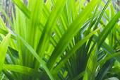 Leaf green screw pine — Stock Photo