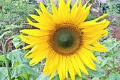 Beutiful close-up sunflower in cultivated agricultural field — Stock Photo