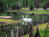 Double Swan — Stock Photo