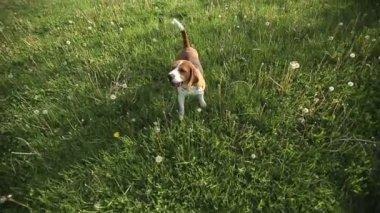 Pedigree dog Beagle barks and runs at sunset. Slow motion — Stock Video